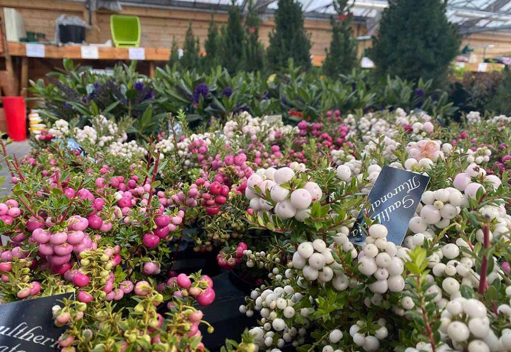 jardinerie, fleurs de la Toussaint